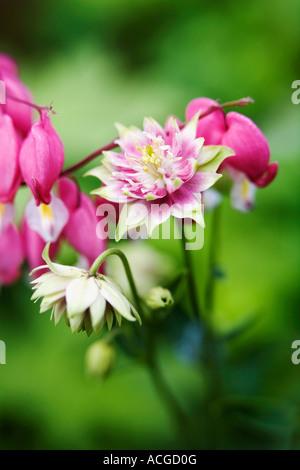 Aquilegia vulgaris 'Nora barlow' and Lamprocapnos spectabilis Bleeding heart flowers in an English garden - Stock Photo