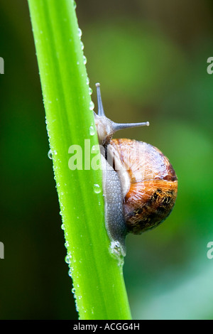 Cornu aspersum. Snail crawling up a flower stem in an English garden - Stock Photo