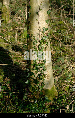 Ivy Hedera helix beginning to grow climb on the trunk of an ash tree - Stock Photo