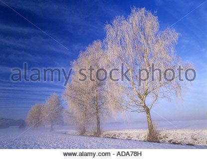 common birch, silver birch, European white birch, white birch (Betula pendula, Betula alba), standing in a row alongside - Stock Photo