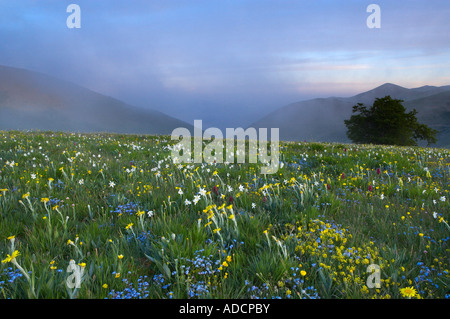 wild flowers growing at the Forca Canapine Monti Sibillini National Park Umbria Italy NR - Stock Photo