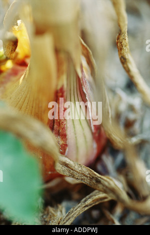 Onion bulb, extreme close-up - Stockfoto