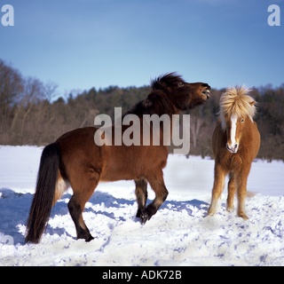 two Icelandic horses in snow - Stock Photo