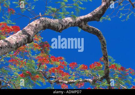 Australian flame tree (Brachychiton acerifolius, Sterculia acerifolia), blooming tree against blue sky, Cook Islands, - Stock Photo
