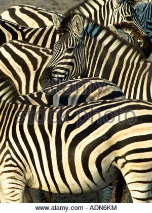 Zebra stripes. Boteti river, Botswana. - Stock Photo