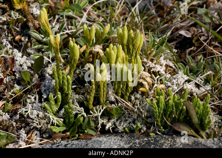 Alpine clubmoss Diphasiastrum alpinum Lycopodium alpinum with fertile branches Scotland - Stock Photo