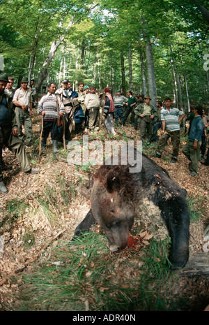 Dead european brown bear with hunters, Domnesti, Carpathian Mountains, Romania - Stock Photo
