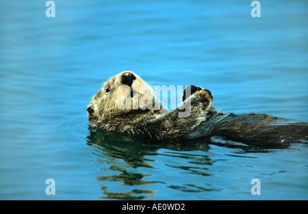 sea otter (Enhydra lutris), swimming on it's back, USA, Alaska - Stockfoto