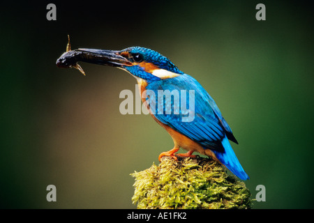 Kingfisher Alcedo atthis - Stockfoto