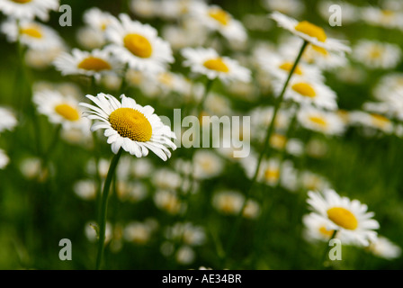 Selective focus isolating a single Oxeye daisy Leucanthemum vulgare against a group of them Sterling Forest New - Stock Photo