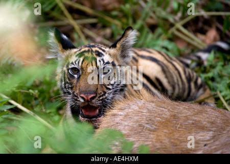 Indian tiger, cub at the samba deer kill, Bandhavgarh National Park, Madhya Pradesh state, India, Asia - Stock Photo