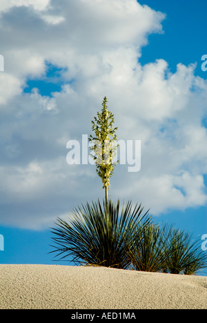 adam 39 s needle weak leaf yucca yucca filamentosa 39 bright. Black Bedroom Furniture Sets. Home Design Ideas