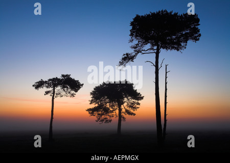 Pine trees on a misty dawn in the New Forest National Park - Stock Photo