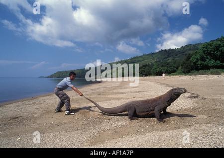 Komodo dragon (Varanus komodoensis) on beach, tail being pulled by ranger - Stock Photo