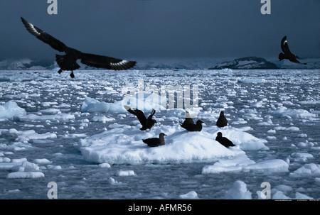 Skuas coming in to land Antarctica - Stock Photo