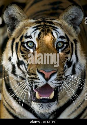 Bengal Tiger Bandhavgarh India - Stock Photo