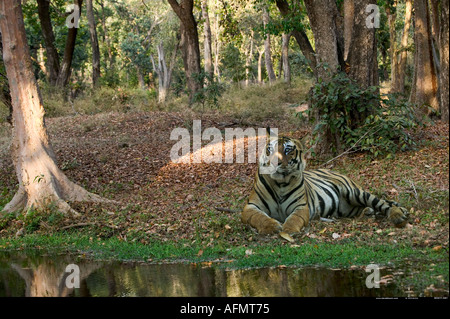 Bengal Tiger resting by the water s edge Bandhavgarh India - Stock Photo