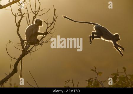 Hanuman Langur leaping through the treetops Bandhavgarh India - Stock Photo