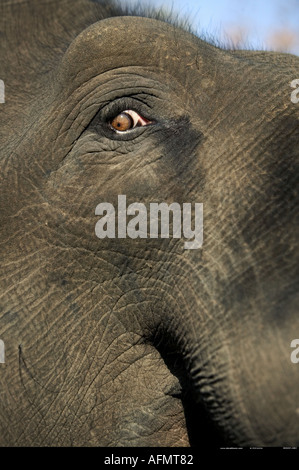 Close up of an Indian Elephant s eye Bandhavgarh India - Stock Photo