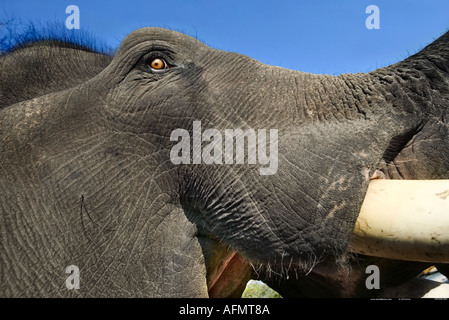 Close up of the head of an Indian Elephant Kanha India - Stock Photo