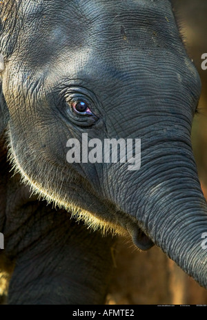 Close up of elephant s face Kanha India - Stock Photo