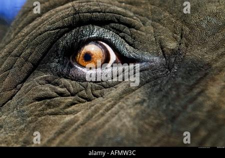 Close up of African elephant s eye Botswana - Stock Photo