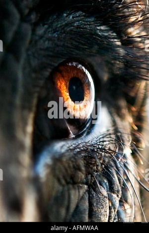 Close up of eye of an Indian elephant Jaipur India - Stock Photo