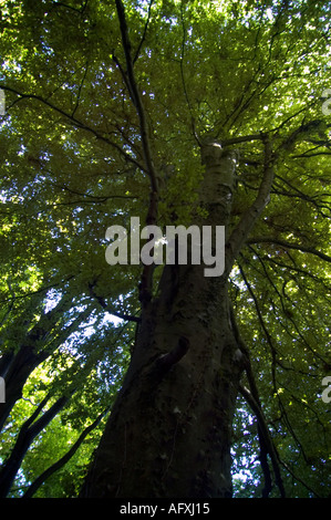 Towering beech tree in Undercliff national nature reserve Devon - Stock Photo