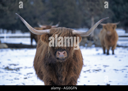 Portrait of a Highland Cow - Stock Photo