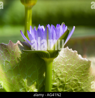 Egyptian Lotus Blue Lotus Of The Nile Blue Water Lily