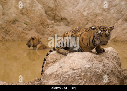 Tigers at the Wat Pha Luang Ta Bua (tiger temple), Buddhist temple in Kanchanaburi province.  Thailand, Southeast - Stock Photo