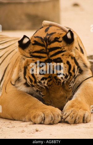 Tiger at the Wat Pha Luang Ta Bua (tiger temple), Buddhist temple in Kanchanaburi province.  Thailand, Southeast - Stock Photo