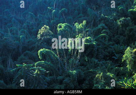 Laos, Luang Namtha, Bamboos in forest - Stockfoto