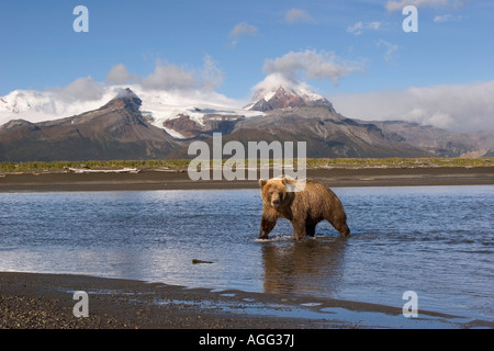 Grizzly looking for salmon in river at Hallo Bay Katmai National Park Alaska - Stock Photo