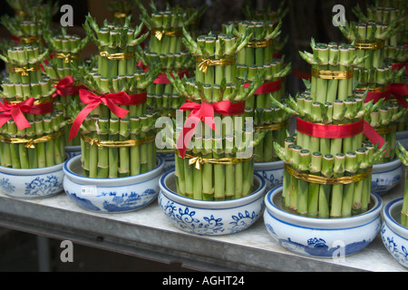 Spirally bamboo plants for feng shui ornamental decoration during stock photo royalty free - Five indoor plants that absorb humidity ...