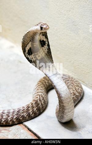 Indian Spectacled Cobra. India - Stock Photo