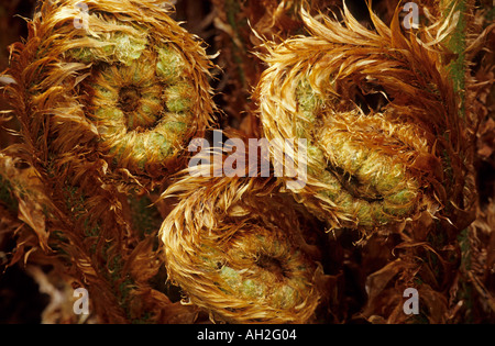 Curled Fern Fronds - Stockfoto