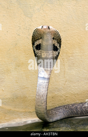 Indian Spectacled Cobra - Stockfoto