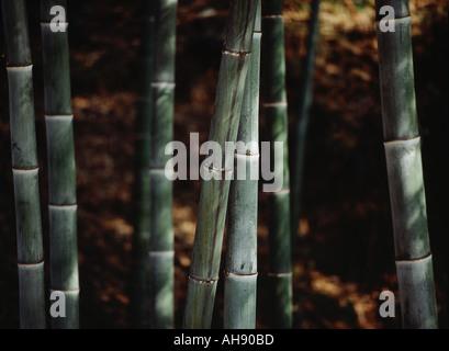 Soft sun on bamboo - Stockfoto