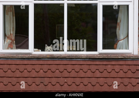 Small dog looks out into the street from a bedroom window - Stock Photo
