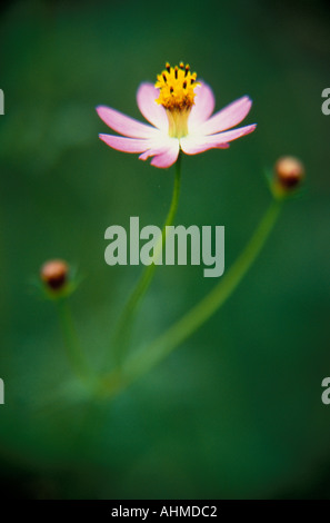 Brazil Chapada dos Veadeiros Typical tiny flower Picao - Stock Photo