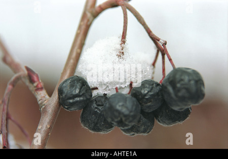 Snow covered black rowanberries Altai Russia - Stock Photo