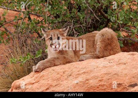 red lion cougars personals Fit individuals   flirting dating service mnhookuponlineqepkoheyasagashiinfo   men in covel red jacket cougars personals ossining catholic single men.