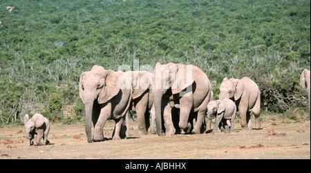 African Elephant (Loxodonta africana) Calf Leading a Herd of African Elephants Through the Bushveld Plain - Stock Photo