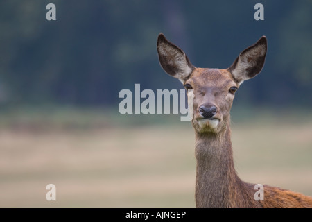 Red female deer Richmond Park London England UK - Stock Photo