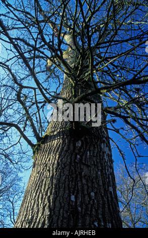 Common Oak Canopy England UK - Stock Photo