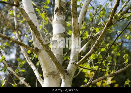 Close-up of a Himalayan Silver Birch (Betula utilis var. jacquemontii) showing the white bark, Surrey, England. - Stockfoto