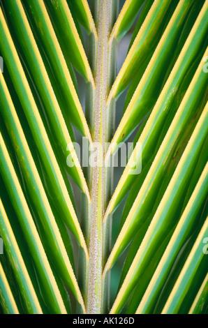 Nahaufnahme eines tropischen Palmwedel - Stockfoto