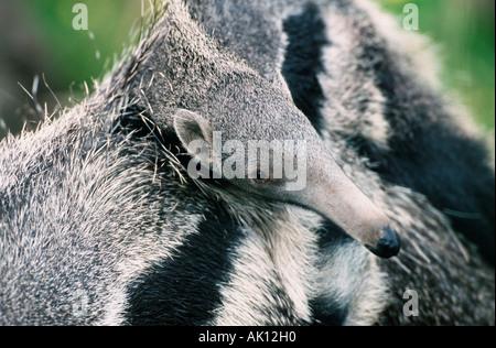 Giant Anteater - Stock Photo