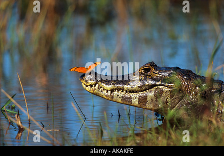 Yacare Caiman in water with Julia Butterfly on nose / caiman yacare - Stockfoto